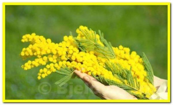 12. Hrvatski dan mimoza - Nacionalni dan borbe protiv raka vrata maternice