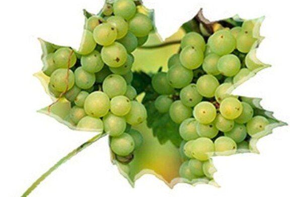 VRENJE MOŠTA – UPOZORENJE: Opasnosti prijete u vinskim podrumima