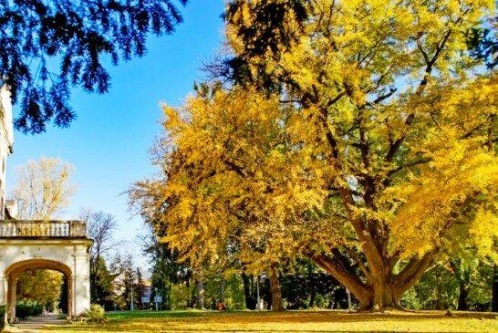 Daruvarski Ginko proglašen za najbolje stablo u Hrvatskoj: Ginko nominiran na izbore za europsko stablo godine
