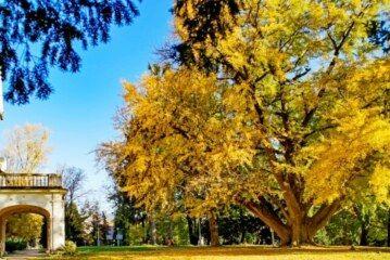 Glasanje je počelo! Bira se Europsko stablo godine – Glasajte za Ginko iz Daruvara