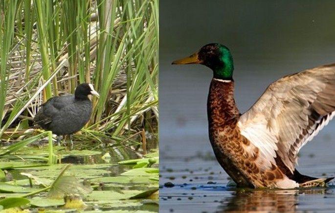 ŽUPANIJA: Zabrana lova divlje patke i crne liske