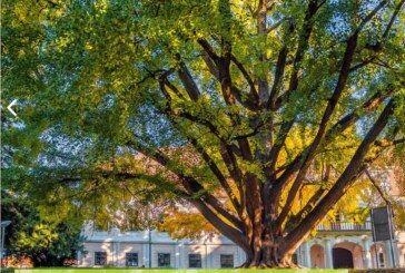 Češko stablo je Europsko stablo godine 2020. – Naš GINKO zauzeo je sjajno DRUGO MJESTO