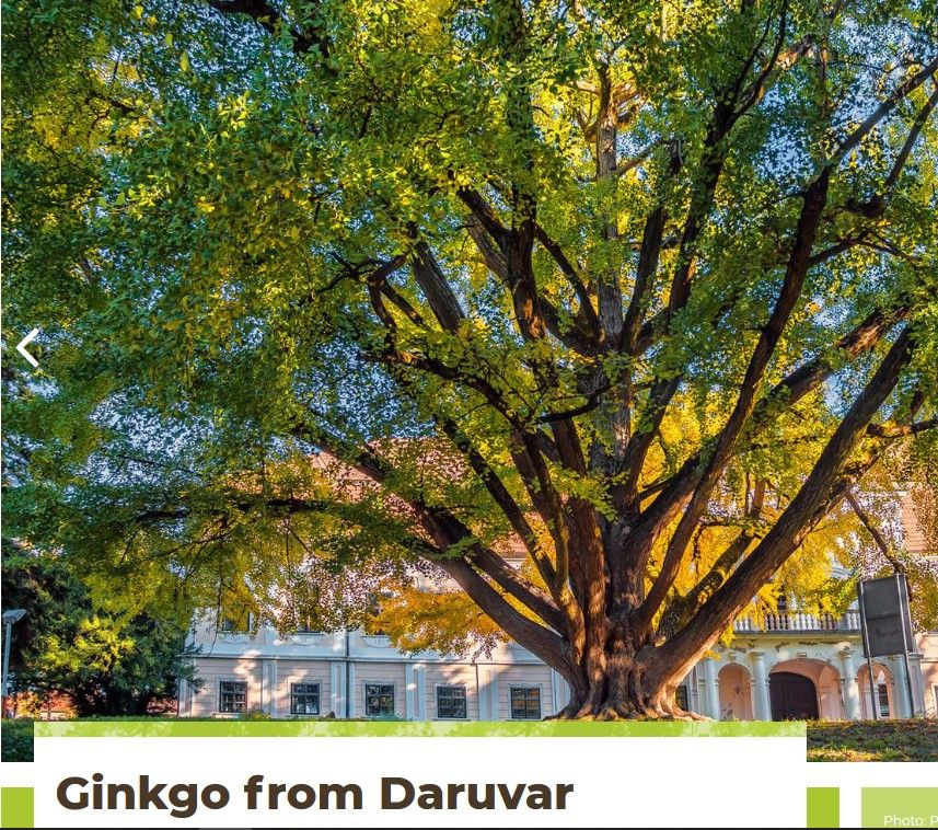 Ginko Daruvar