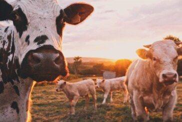 Ministarstvo poljoprivrede: Otkupljeno 20 tona mliječnih proizvoda od malih mljekara i donirano potrebitima