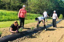 Druženje uz miris lavande: Udruge Osit i Roma Lovara u sadnji ljekovitog bilja