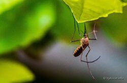 Obavijest Grada Bjelovara: Suzbijanje komaraca metodom hladnog zamagljivanja